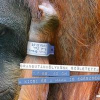 Még egy kölyök az orangutánoknál!