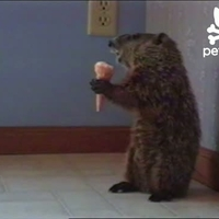 Fagyizó mormota