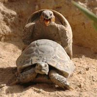 Kuvaiti teknős aktus