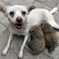 Vöröspandákat szoptat egy kutya
