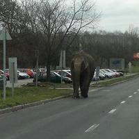 Elefánt az utcán!