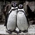 Esküvői fotók a pingvinpárról