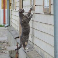 Észt macska kukucskál