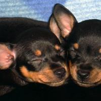 Alvó és/vagy téli állat: álmában mosolygó, óriásfülű kutyapár