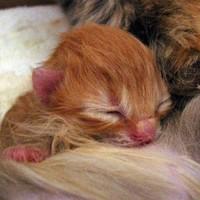 Egészen kicsi, narancsvörös újszülöttmacska