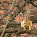 Fakó mókus