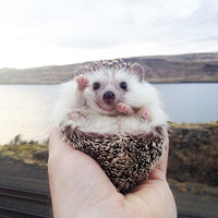 Biddy, az utazó süni