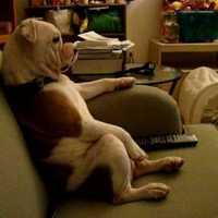 Angol bulldog tévézik