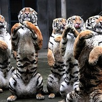Ez a tigris éve, szevasztok tigrisek!