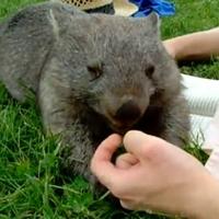 Házi wombat