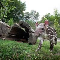 Radír lesz a tapírbébi?