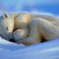 Így szundikál a jegesmedve