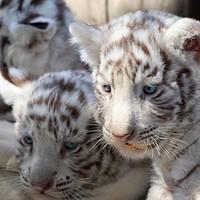 Fehér tigriskölykök születtek Chílében