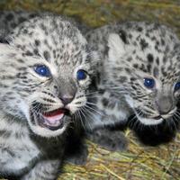 Bemutatkoztak az állatkert legifjabb leopárdjai
