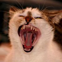 Bogyómajomállat igazából egy macska