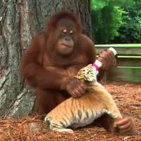 Bébiszitter orángután