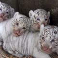 Fehér tigriskölykök születtek Japánban!