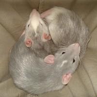 Patkány jin-jang szürkében