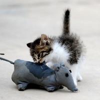 Macskákat treníroznak egerek ellen