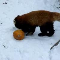Pandatök