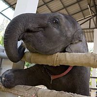 Nem szabad elefántot etetni Thaiföldön