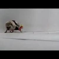Kerekesszékes süni