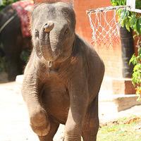 Most megnézheti, hogy kosarazik az elefánt