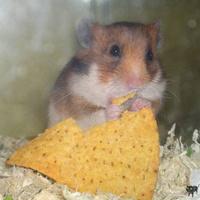 Kicsi hörcsög nagy tortillával