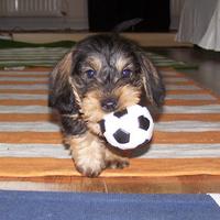 Rágcsálni és labdázni szeret a holland Rambó