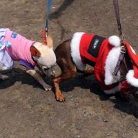Újabb kutyákat öltöztettek, ezúttal télapónak és úrinőnek