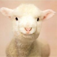 Egyszerűen csak bárány