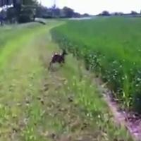 Kenguru vagy kutya?