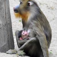 Nézze meg az Állatkert legifjabb kismandrillját!