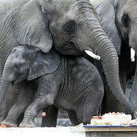 Több tonnás szülinapi buli a drezdai állatkertben