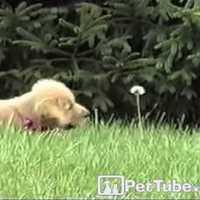 Kiskutya megtámadja a pitypangot