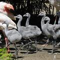 A flamingófióka fura állat