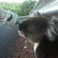 Koala és a kerékpáros