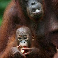 Orángután almát harap