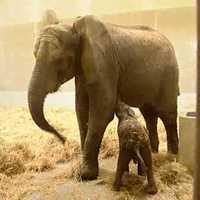 A nyíregyházi kiselefánt első órái videón