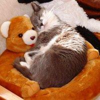 Cica a mackó ölében szunyókál