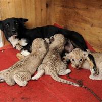 Riadt tekintetű kutya csöcseiből nagymacska lóg
