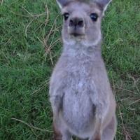 Fogócskázik a kenguru és a maki