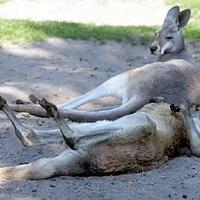 Ez még a kenguruknak is sok