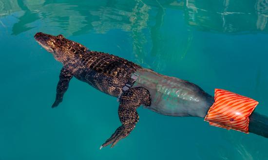 aligator01 pro.jpg