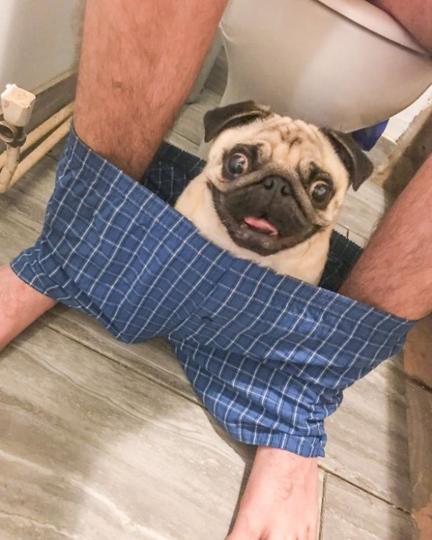 clingy-pug-dog-stays-with-owner-pants-toilet-nigel-6-59300738b5d10_605.jpg