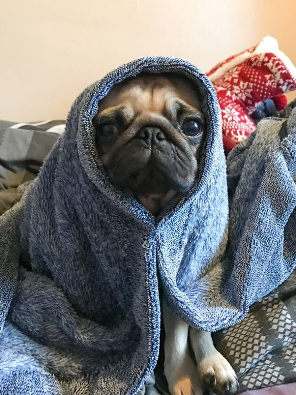 clingy-pug-dog-stays-with-owner-pants-toilet-nigel-7-5930073ba7a0f_605.jpg