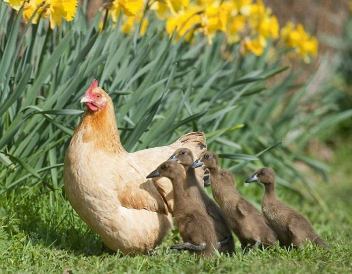hens-adopt-animals-5979ab29531f9_700.jpg