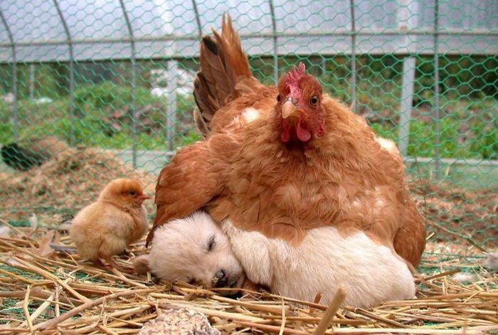 hens-adopt-animals-5979b483663b9_700.jpg