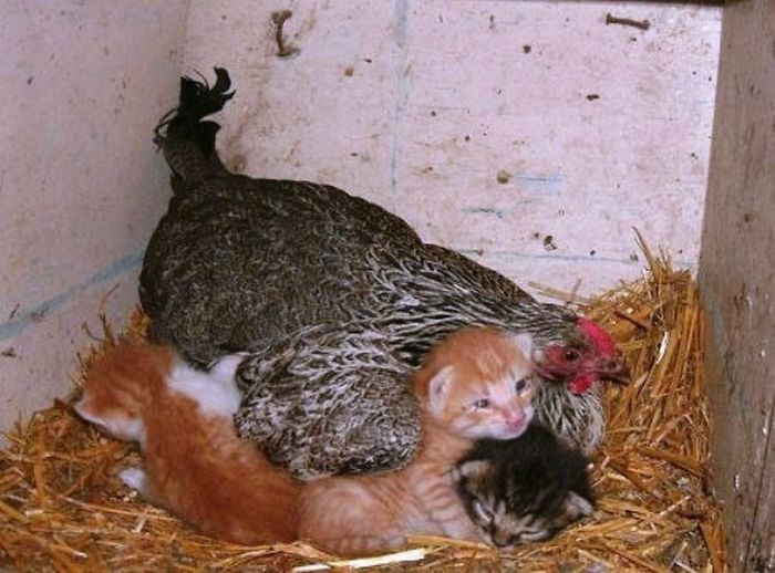 hens-adopt-animals-5979b4e296501_700.jpg