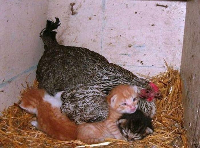 hens-adopt-animals-5979b4e296501_700.jpg